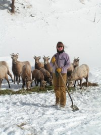 Big_horn_sheep_leah