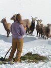 Leah_wbig_horn_sheep_24